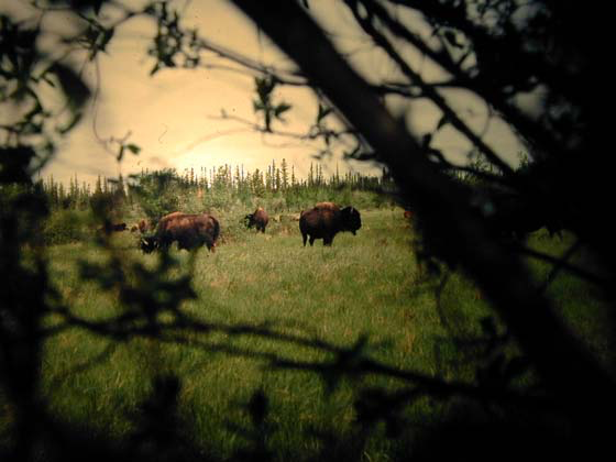 Wood bison are slightly larger than plains bison.
