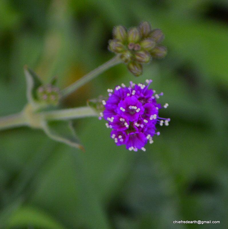Punarnava, red spiderling, spreading hogweed,or tarvine