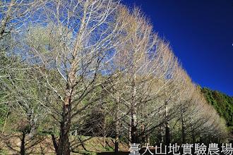 Photo: 拍攝地點: 梅峰-一平臺環控溫室後 拍攝植物: 水杉 拍攝日期:2012_03_05_Yah