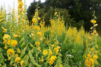 Photo: Wild flower stalks over five feet tall! (San Felasco Trail, Alachua, FL)