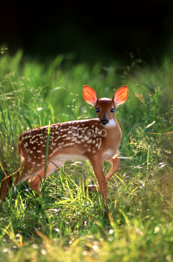 Fawn by Karen Blankenship - Animals Other Mammals ( spots, posing fawn, baby deer, animals, prominent ears, striking pose, wildlife, emotive, backlighting, backlit, nature, buck, ears, doe, baby, fawn, evening light, deer )