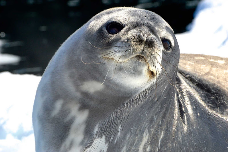 A seal encountered on an expedition cruise to Antarctica.
