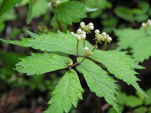 Photo: ウワバミソウ(イラクサ科)。 2007.05.31 夏焼城ケ山にて。 茎は山菜として利用され、ごま和えや煮浸しにして食べるとおいしい。