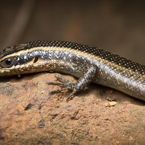 4 lizard by Paul Carter - Animals Reptiles ( reptile, animal )