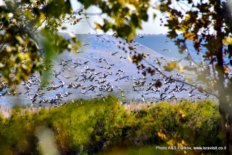 Перелетные птицы Израиля. Журавли.