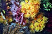 Photo: Polypes des Tubastrea à komodo