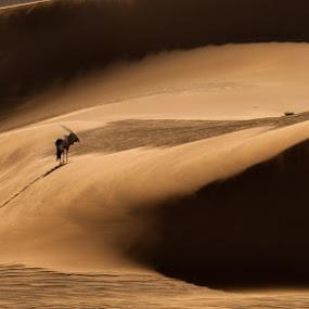 Gemsbok Namib Desert by Ken Dyball - Animals Other ( namibia sand dunes gemsbok oryx warm light )