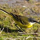 Yellow Wagtail; Lavandera Boyera