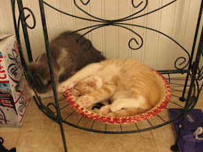 Photo: Bella, the gray kitty, likes to attack the other kitties.  She chewed on Derek's ears until he woke up.