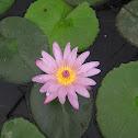 lirio acuático / water lilies