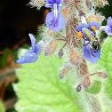 Australian Stingless Bee