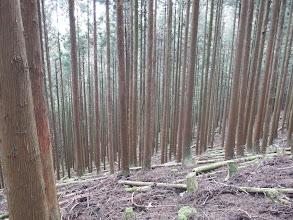 間伐林を降りる