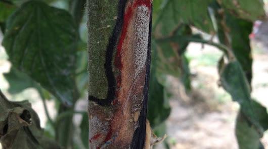 PRESTOP® contra Botrytis, la pudrición que más afecta a las hortícolas