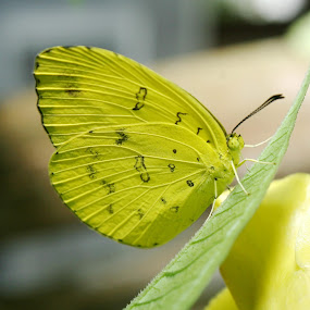 Kupu-Kupu Pagi by Mas Bagus - Animals Insects & Spiders