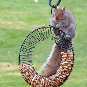 Peanuts Please by Rita Goebert - Animals Other Mammals ( squirrel feeder; squirrel; peanut feeder; backyard fun,  )
