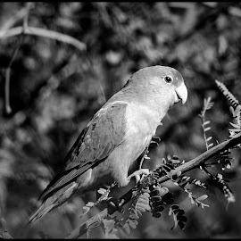 Peach-faced Love Bird by Dave Lipchen - Black & White Animals ( peach-faced love bird )
