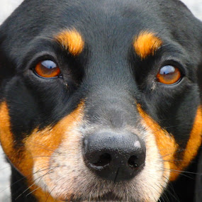 Expressing Love by Deegee English - Animals - Dogs Portraits ( love, pet, longing, black and tan, eyes,  )
