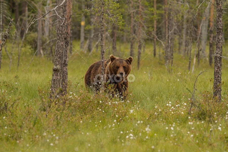 In the woods by Garry Chisholm - Animals Other Mammals ( forest, nature, mammal, woods, bear, brown bear, wildlife, garry chisholm, finland )