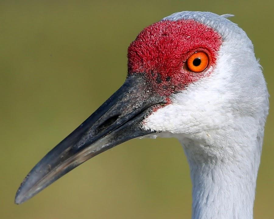 Sandhill Crane by Anthony Goldman - Animals Birds ( bird, drivewaywild, florida, driveway, wildlife, sanhill, crane, tanpa,  )
