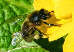 Photo: Abeille sur une jonquille. Actuellement les abeilles butinent au jardin sur les lauriers-tin et les bourdons sur la cytise - 5° ce matin à à 4 h et ciel clair.