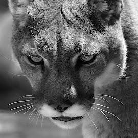 Darla B&W by Shawn Thomas - Black & White Animals