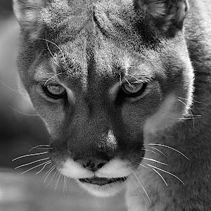 Cougar Darla Close2 bw.jpg
