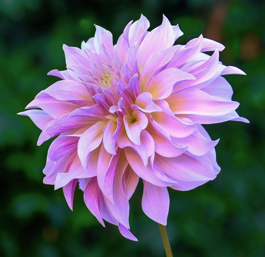 Purple Dahlia #6 by Jim Downey - Flowers Single Flower ( gold, green, dahlia, purple, petals )