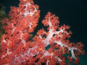 Photo: Alcyonaires translucides aux Mergui