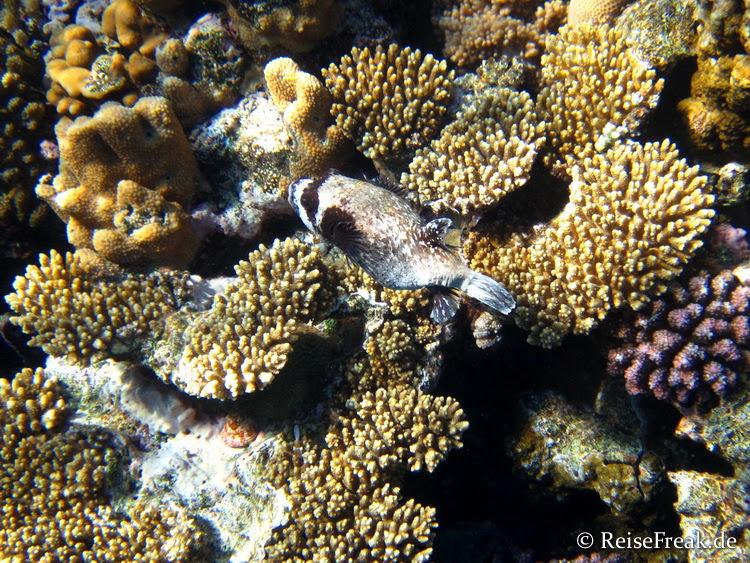 Maskenkugelfisch (Arothron diadematus)