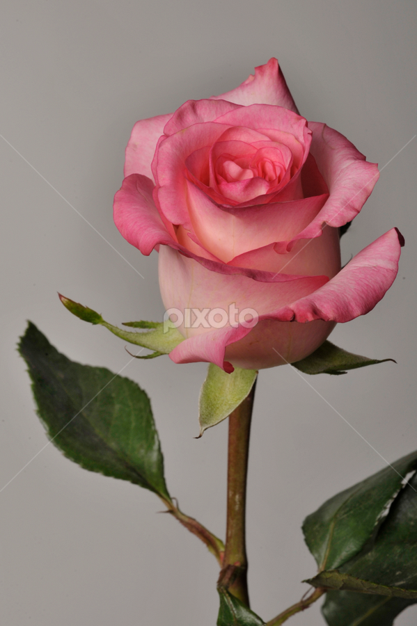 Rose with leaves by Cristobal Garciaferro Rubio - Nature Up Close Flowers - 2011-2013 ( rose, detail, aroma, nature, petals, roses, beauty, flowers, flower, petal )