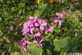 Photo: 拍攝地點: 梅峰-溫帶花卉區 拍攝植物: 銀幣草 拍攝日期: 2014_02_18_FY