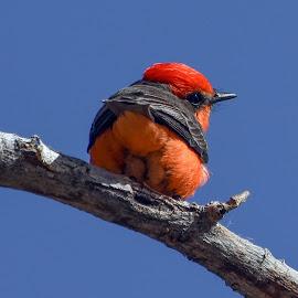 Vermilion Flycatcher by Dawn Hoehn Hagler - Animals Birds ( tucson, arizona, reid park, bird, vermilion flycatcher )