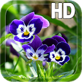 Pansy flowers Live Wallpaper