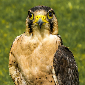 Falcon  by Vicki Roebuck - Animals Birds ( bird of prey, falcon, eyes )