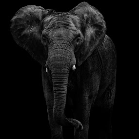 Into the light by Andy Smith - Animals Other Mammals ( african, low key, elephant )