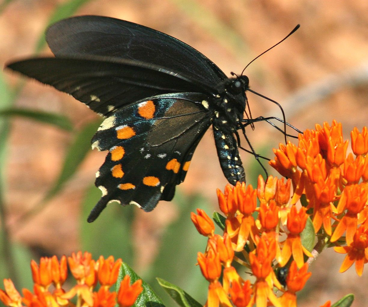 https://upload.wikimedia.org/wikipedia/commons/thumb/c/c9/Pipevine_Swallowtail_on_Butterfly_Weed_%282552294158%29.jpg/1224px-Pipevine_Swallowtail_on_Butterfly_Weed_%282552294158%29.jpg