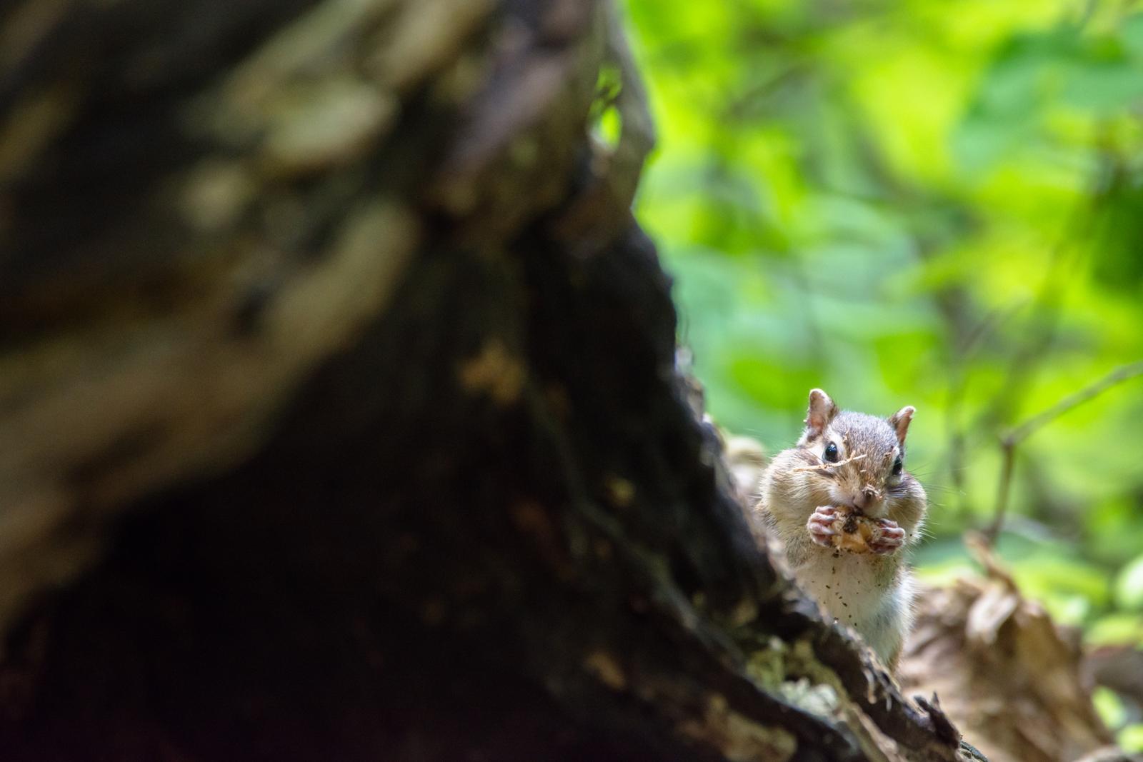 Photo: 「ちょっと待っててね」 / Just a moment.  こんにちは あ、ごめんね ちょっと食べ終わるまで 少し待っててね  Chipmunk. (エゾシマリス)  Nikon D7200 SIGMA 150-600mm F5-6.3 DG OS HSM Contemporary  #animals #squirrel #nikon #sigma  ( http://takafumiooshio.com/archives/2580 )