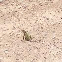 Common Collared Lizard, Eastern Collard Lizard