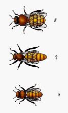 Photo: Bienenarten (Drohne, Königin, Arbeiterin)