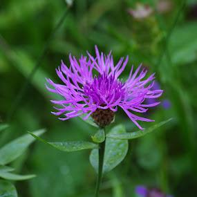 flower in the Wild  by Ionela Garovat - Flowers Flowers in the Wild ( nature, flower,  )