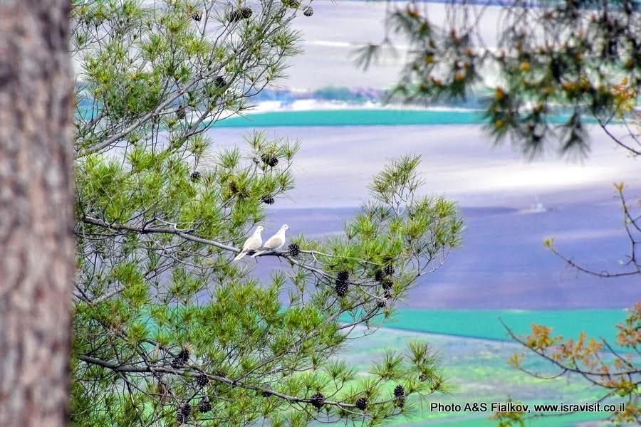 Птицы Израиля. Горлинки. Горы Нафтали.