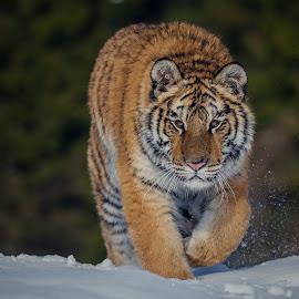 Prudence by Jiri Cetkovsky - Animals Lions, Tigers & Big Cats ( winter, tiger, prudence, snow, ussurian )