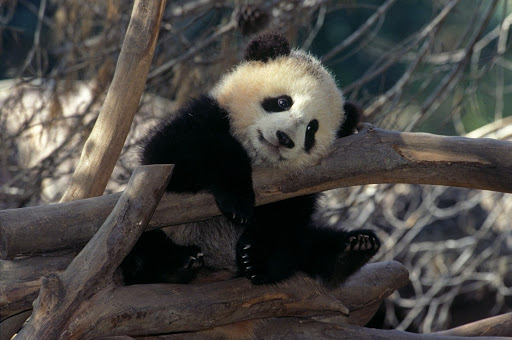 san-diego-zoo-panda-bear.jpg - Striking a pose: One of the three panda bears at the San Diego Zoo.