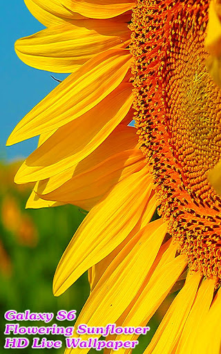 Incredible Flowering Sunflower