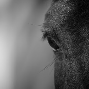 Kind Eye by Stephen Gruber - Animals Horses ( horses )