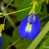 butterfly pea, blue pea