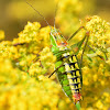 Ionian Bright Bush-cricket