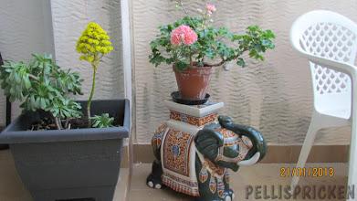 Photo: När vi kom hem överraskades jag av att min finaste och dyraste pelargon av sorten Zonartic stog i full blom!