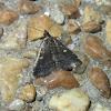 Smokey Tetanolita Moth