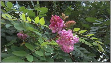 Photo: Salcâm roșu (Robinia hispida) - de pe Str. Zambilelor - 2017.07.13
